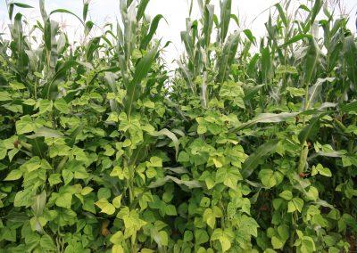 Stangenbohnen-Mais-Gemenge (3A)