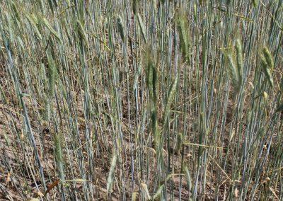 Extensiver Getreideanbau mit Ernte des Körnergetreides (2A)