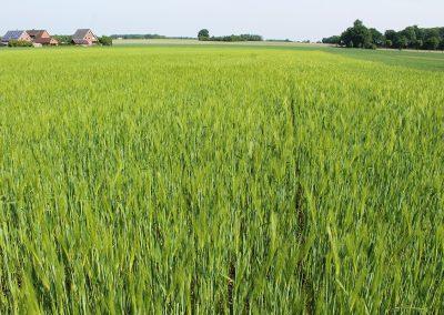 Extensiver Getreideanbau mit Dünge- und Ernteverzicht (2B)