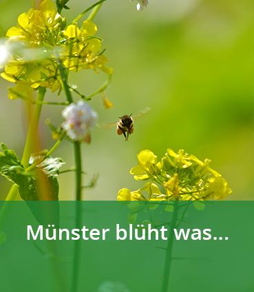 Münster blüht was