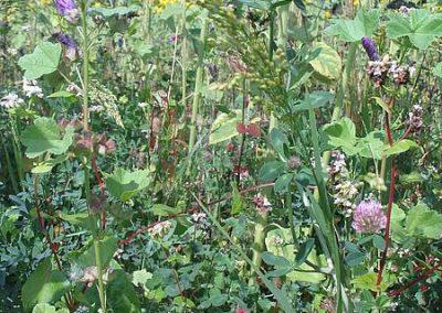 Artenvielfalt in einem Blühstreifen
