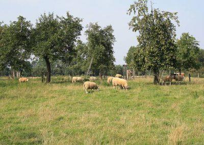 Streuobstwiesenmanagement mit Schafen