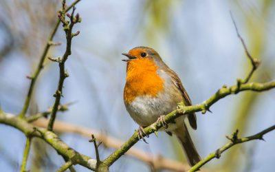 50 kostenlose Vogelschutzpakete – Jetzt mitmachen und Singevögel fördern
