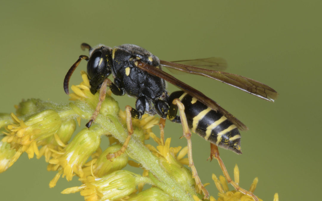 Seltene Wildbienenarten nachgewiesen