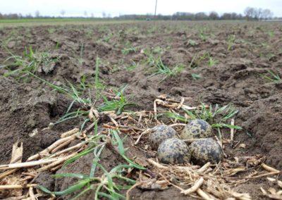 Artenschutz: Kiebitz-nest im Maisacker